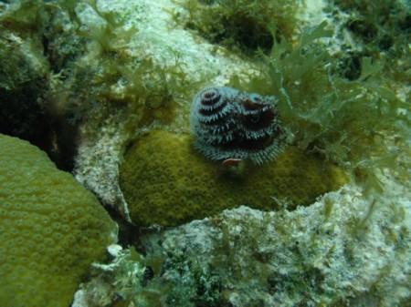 coralzinho